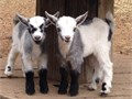 Neutered 2 month old boys 125 each  One Show quality Doe 2 months old 450 with Reg papersPic