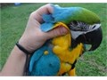 Talking Macaw Parrotsfor more details and pictures contact asap 320 207-2133 or gabrielouis6gma