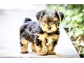 YORKIE PUPPY FOR SALE PUPPIES FOR SALE  9 WEEKS OLD SHOTS AND DEWORMED  WILL BE 7 POUNDS FULL GR