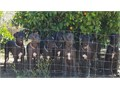 Great Dane Puppies 6 mos  These babies are looking for their very own Special PersonFamily to LOVE