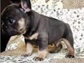 Very Smart potty trained Frenchie puppies available in both male and female Good on shots and