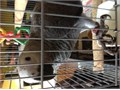 Hi Im selling my African grey 7years old hand tamed friendly parrot female talks lot very healthy a