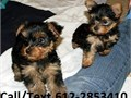 YORKIE TERRIER TEACUP PUPPIESCKC YORKIE TERRIER TEACUP PUPPIES Registered CKC11 weeks old m