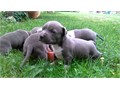 American Staffordshire terrier puppies Availablefor more details and pictures c