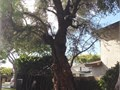 A mature 80-100 year-old olive tree  This is a magnificent healthy specimen with a gnarly trunk t