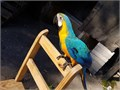 Broad-minded Macaw parrots ready they are very playful and friendly with childrenTextcall at 6