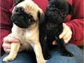 i have 2 adorable female pug puppies available now One of the puppies is fawn the other black Lov