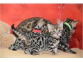 100 healthy bengal kittens ready for their new homes They are all available and in search of their