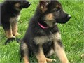 Our stunning German Shepherd has given birth to a stunning litter of 7 healthy big chunky German she
