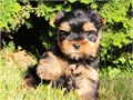 Lovely male and female Yorkie puppies ready for re-homing They are AKC register