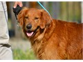 Charlie available for StudAKC Golden Retriever in good health  great temperament followed AKC s