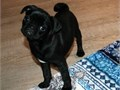 Pug puppies looking for an adorable and lovling home for our pups Very good with other pets and kid