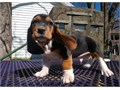 good Basset Hound puppieslove playing and runningcontact at 724-427-5281 for more info and picture