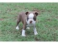 Quality Male and Female Boston Terrier Puppies For Sale -These puppies will ma