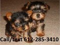 Teacup yorkies puppiesvaccination up to date  deworm shipping available within US with  deli