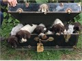 German Wirehaired Wirehair Pointer AKC puppies looking for their forever home Wonderful family