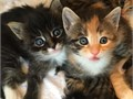 Maine Coon Kittens For Sale They have TICA Papers Call or Text 903-847-0331