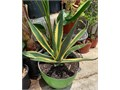 Giant Striped Agave