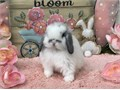 Eight week old Holland Lops Very friendly and sweet Text only No emails Maggie 714 420 5084