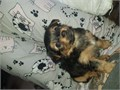 Beautiful litter of Yorkshire terrier puppies 3 boys and 3 girls ready for the new loving homes rear