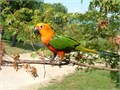 Two bonded breeder pairs of Jenday Conures for sale Approx 2 12-3 years old Not actual photos sh
