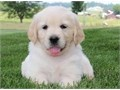 neat Golden retriever puppies for salelove playing and runningtext or call me for more info and pi