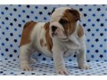 ytEnglish Bulldog Pups So gentle and affectionate I have one male and one fem