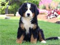 Famous Male and Female bernese mountain puppies For more details please email jw60978gmailcom or
