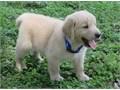 Golden retriever pupsRegisteredregisterable Current vaccinations Veterinarian examination Healt