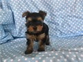 Super cute tiny yorkies are ready to go  9 weeks of age shots and deworming are up to date a 6 mo