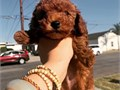 Red Female Toy Poodle Pups available Mother is on site and available to be shown Mother is 5 lbs a