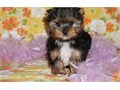RFT Yorshire Terrier pups For sale now textus-x-385 2023846--so lovely g