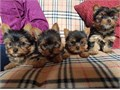Absolutely adorable little yorkies looking for new homes Male and Female available Baby face and t