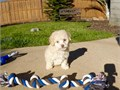 SMALL MALTIPOO  PUPPY FOR SALE BEAUTIFUL TINY FEMALE  SHE IS 10 WEEKS OLDSHE WILL BE 5 POUNDS  FU