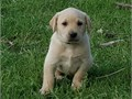 We are selling AKC limited registration male pups for sale They will come well socialized and will