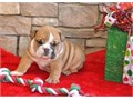 All our puppies are family raised They come with papers and first set of shots up to date We speci