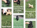 Beautiful AKC Standard Poodle Puppies   Ready for new homes  They are vet checked and seen twice