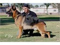 German Shepherd 6 Males   1000 The puppies are vaccinated and have their shot records for proof