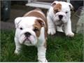 MFEnglish Bulldog Pups Male and Female English Bulldog puppies So gentle and