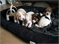 Hello we have 4 Beagle puppies available for their new homes They are 10 weeks