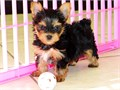 Yorkshire Terrier puppiesText us 7625855769 they are male and female current on all shots and vacc