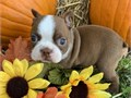 Friendly Boston terrier puppies ready Our puppies are very sweet and charmingcontact at 561-377-00