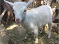 Uplander Creamela adga registered doe with blue eyes and horns white with light tan she may chang
