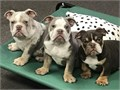 Lonzo is beautiful Lilac Merle AKC English Bulldog He weight 55 lbs He can produce Lilac Blue or