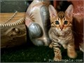 Available to go soon5 Beautiful Purebred Brown Rosetted Bengal kittens1 male 4 femalesThey ha