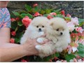 Pomeranian puppies ready If interested call or text at 4023185280
