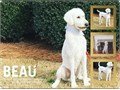 Standard Poodle Studs  Proven  Genetically health tested  Throw a variety of color For more inf