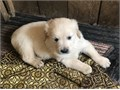 SWeet Golden Retriever puppies now ready There looking for there forever homes8027290120