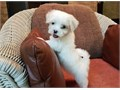This super cute Maltese puppy is considered a teacup  he is a estimated to weigh around 2-4 pounds