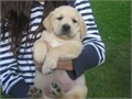 Labrador retriever puppies for sale Very good inside puppies Loves kids and people and does well